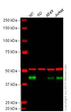 Western blot - Human HLA-A knockout A-431 cell line (ab261894)