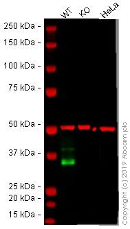 Western blot-人EPCAM基因敲除A-431细胞系(ab261902)