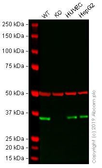 Western blot - Human DDAH1 knockout A-431 cell line (ab261909)