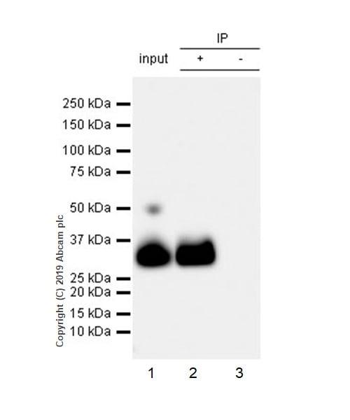 Immunoprecipitation - Anti-Apo-D antibody [EPR22967-72] - BSA and Azide free (ab261911)