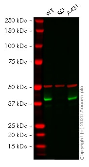 Western blot - Human BMI1 knockout MCF7 cell line (ab262319)