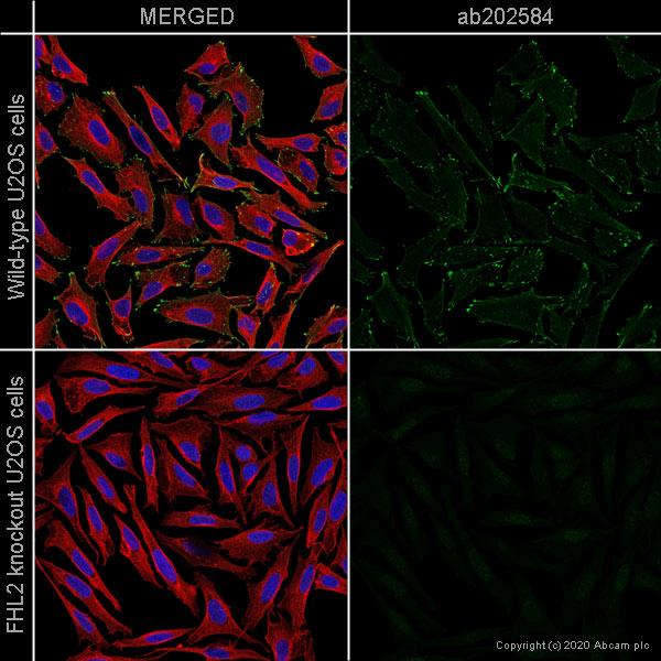 Immunocytochemistry - Human FHL2 knockout U-2 OS cell line (ab262496)