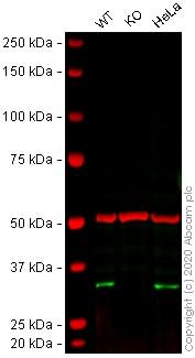 Western blot - Human FHL2 knockout U-2 OS cell line (ab262496)