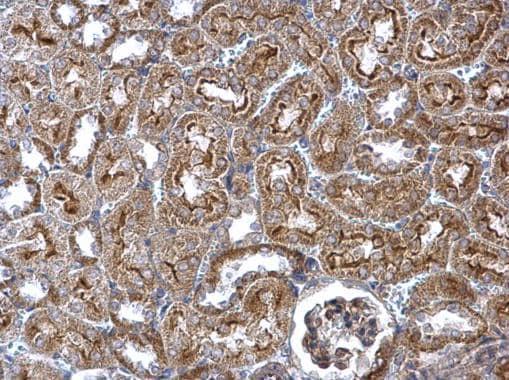 Immunohistochemistry (Formalin/PFA-fixed paraffin-embedded sections) - Anti-Wnt4 antibody (ab262696)