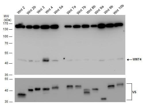 Western blot - Anti-Wnt4 antibody (ab262696)