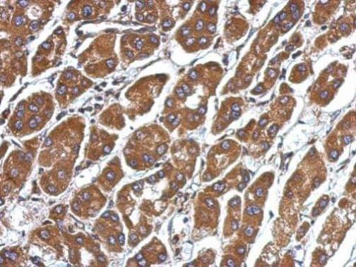 Immunohistochemistry (Formalin/PFA-fixed paraffin-embedded sections) - Anti-CFHR5 antibody (ab262705)