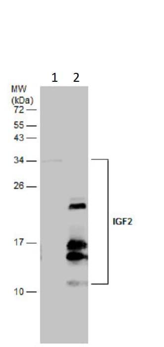 Western blot - Anti-IGF2 antibody (ab262713)