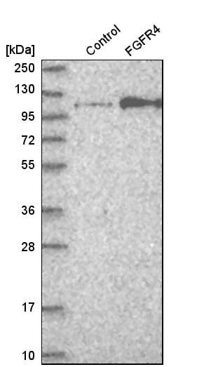 Western blot - Anti-FGFR4 antibody (ab262838)