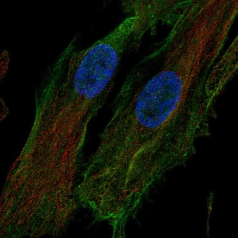 Immunocytochemistry/ Immunofluorescence - Anti-htrA1 antibody (ab262852)