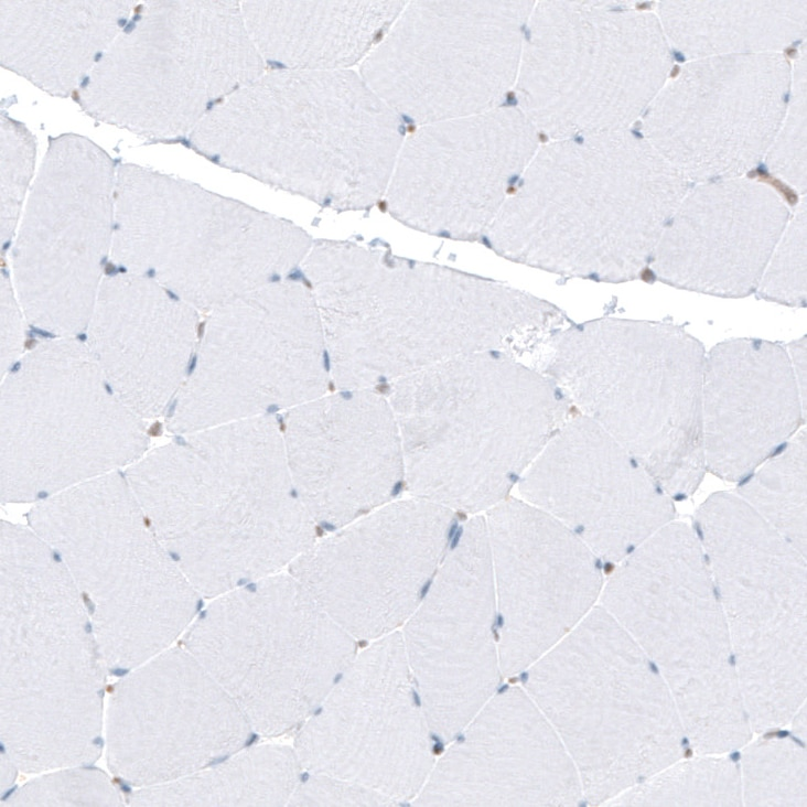 Immunohistochemistry (Formalin/PFA-fixed paraffin-embedded sections) - Anti-PHO1 antibody (ab262853)
