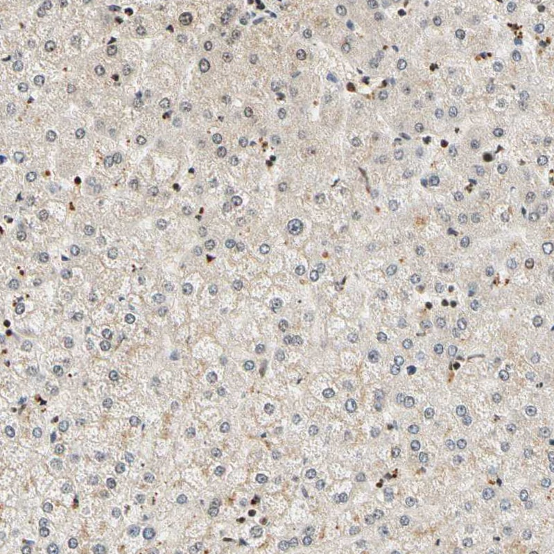 Immunohistochemistry (Formalin/PFA-fixed paraffin-embedded sections) - Anti-Cdk7 antibody (ab262854)