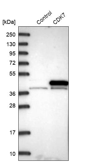 Western blot - Anti-Cdk7 antibody (ab262854)
