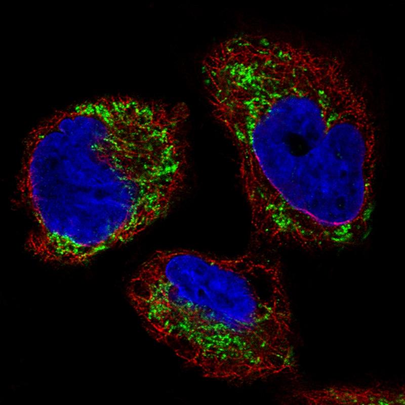 Immunocytochemistry/ Immunofluorescence - Anti-Ornithine Carbamoyltransferase/OTC antibody [CL4045] (ab262864)
