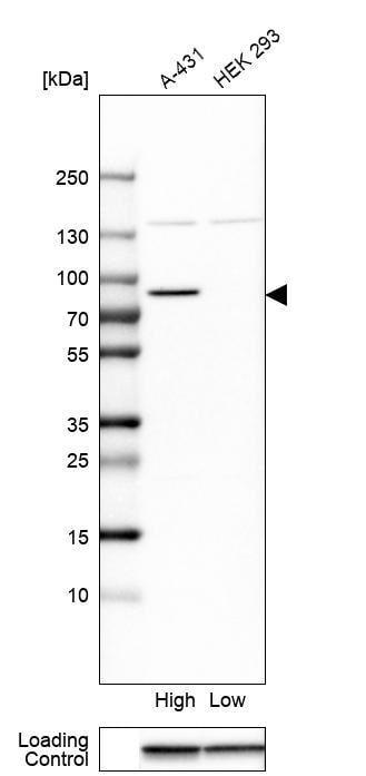 Western blot - Anti-ESRP1 antibody (ab262886)