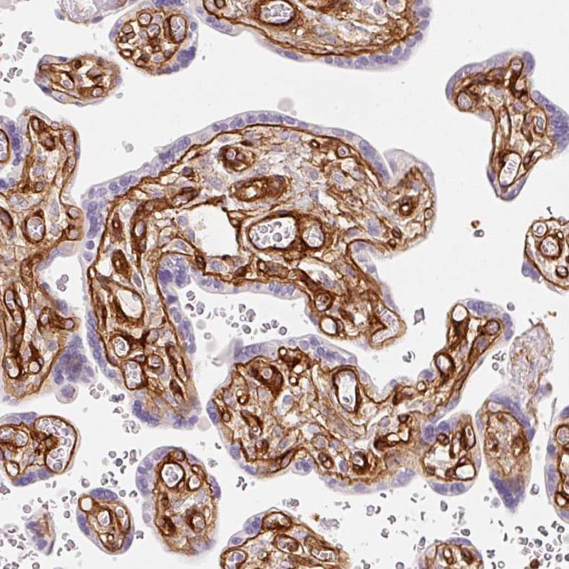 Immunohistochemistry (Formalin/PFA-fixed paraffin-embedded sections) - Anti-LOXL4 antibody (ab262890)