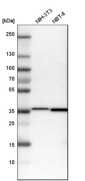 Western blot - Anti-MDH2 antibody (ab262891)