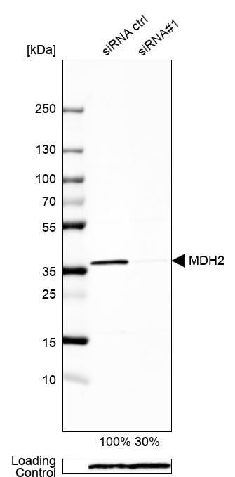 Western blot - Anti-MDH2 antibody (ab262892)