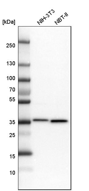 Western blot - Anti-MDH2 antibody (ab262893)