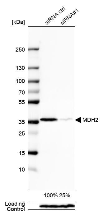 Western blot - Anti-MDH2 antibody (ab262894)