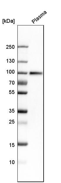 Western blot - Anti-C1s antibody (ab262928)