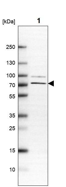 Western blot - Anti-nSMase-3 antibody (ab262935)