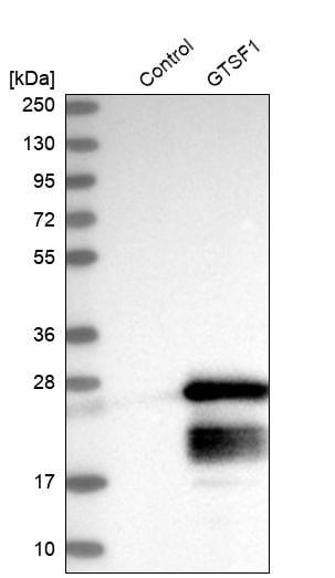 Western blot - Anti-GTSF1 antibody (ab262937)