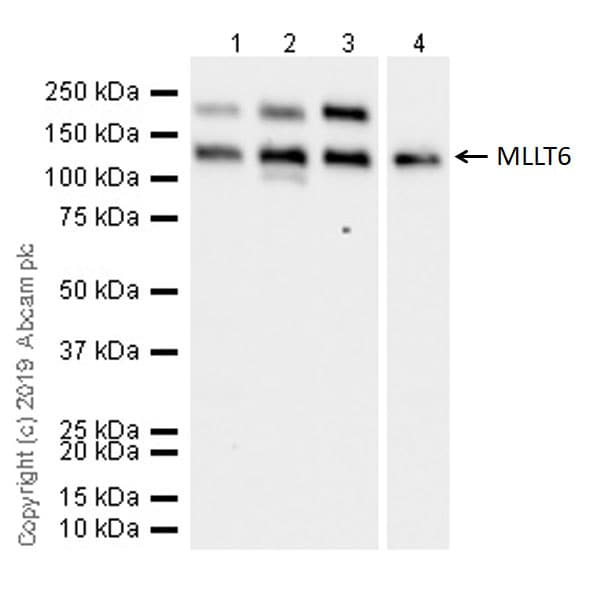 Western blot - Anti-MLLT6 antibody [EPR20977-52] - BSA and Azide free (ab263021)