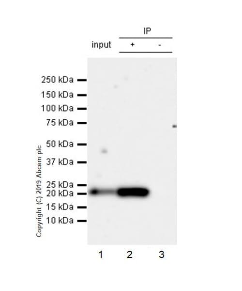 Immunoprecipitation - Anti-CD9 antibody [EPR23105-121] - BSA and Azide free (ab263023)