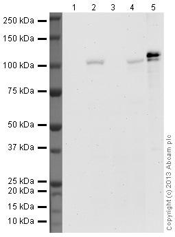 Western blot - Anti-HIF-1 alpha antibody [H1alpha67] - ChIP Grade (ab1)