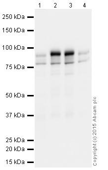 Western blot - Anti-PSD95 antibody [K28/43]