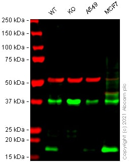 Western blot - Human CD9 knockout HeLa cell lysate (ab263754)
