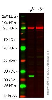 Western blot - Human CDK4 knockout HeLa cell lysate (ab263780)