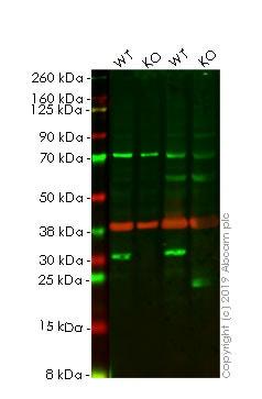Western blot - Human HMGB1 knockout HeLa cell lysate (ab263782)