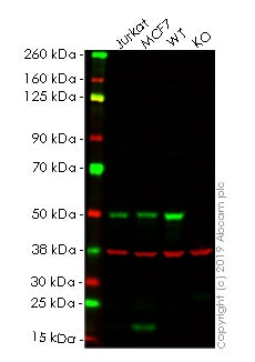 Western blot - Human IRF3 knockout HeLa cell lysate (ab263784)