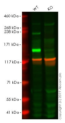Western blot - Human L1CAM knockout HeLa cell lysate (ab263786)