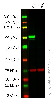 Western blot - Human STAT3 knockout HeLa cell lysate (ab263797)