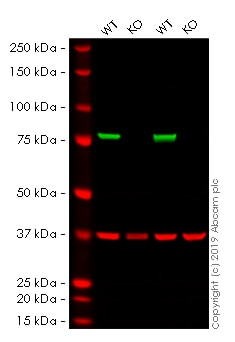 Western blot - Human CANX knockout HEK293T cell lysate (ab263805)