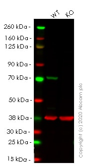Western blot - Human LMNB1 (Lamin B1) knockout HeLa cell lysate (ab263825)