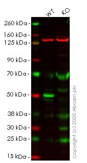 Western blot - Human PTEN knockout HeLa cell lysate (ab263829)