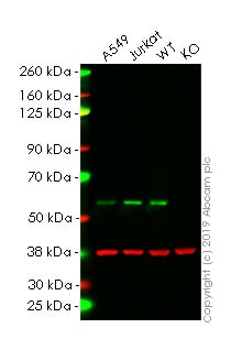 Western blot - Human SMAD2 knockout HeLa cell lysate (ab263833)