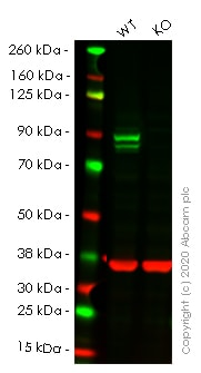 Western blot - Human STAT1 knockout HeLa cell lysate (ab263837)