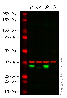 Western blot - Human VDAC1 knockout HEK293T cell lysate (ab263839)