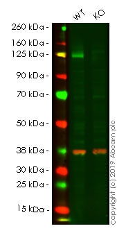 Western blot - Human CDH2 knockout HEK293T cell lysate (ab263843)