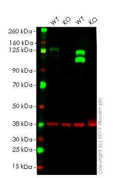 Western blot - Human ITGB1 knockout HeLa cell lysate (ab263847)