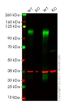 Western blot - Human LAMP2 knockout HeLa cell lysate (ab263861)