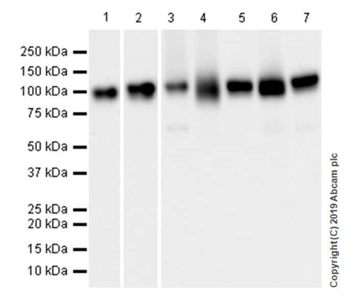 Western blot - Anti-Sortilin/NT3 antibody [EPR23093-58] (ab263864)