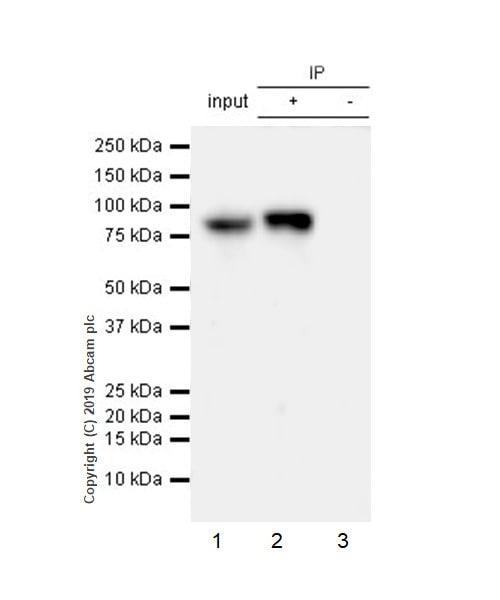Immunoprecipitation - Anti-STAT1 antibody [EPR23049-111] - BSA and Azide free (ab263866)