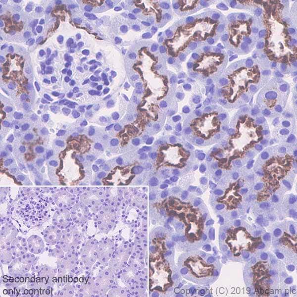 Immunohistochemistry (Formalin/PFA-fixed paraffin-embedded sections) - Anti-Corin antibody [EPR22613-21] - BSA and Azide free (ab263869)