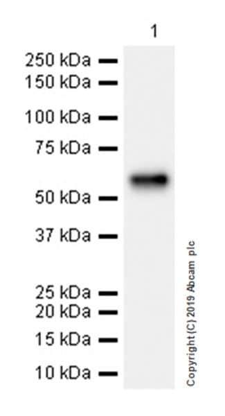 Western blot - Anti-ALK-1 antibody [EPR22985-108] (ab263902)