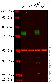 Western blot - Human CD44 knockout HeLa cell lysate (ab263938)